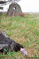 Turkey hunting with ground blind
