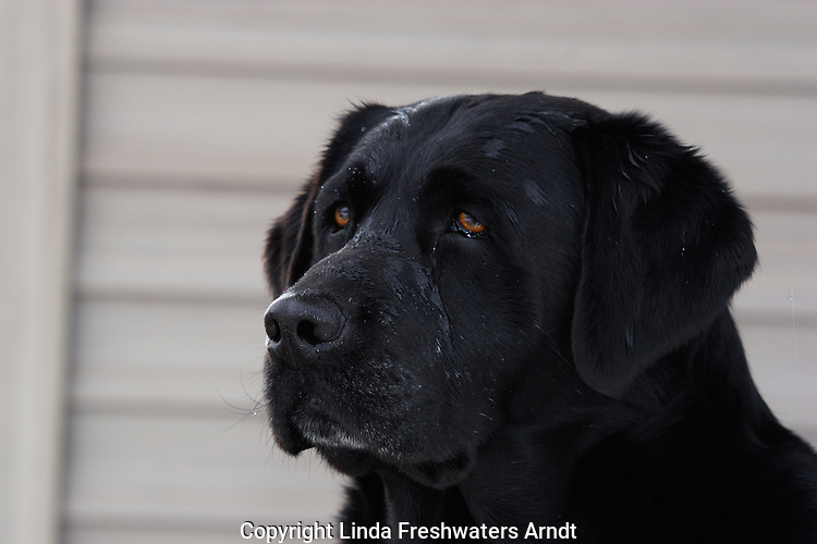 Black Labrador retriever (AKC) with water drips on his head.