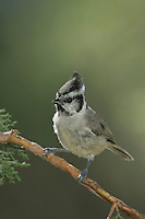 Bridled Titmouse, Baeolophus wollweberi, adult, Paradise, Chiricahua Mountains, Arizona, USA, August 2005