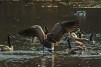 Canada Goose,  Branta canadensis, spreading its wings at Delgian Pond in Camp Saratoga, Wilton, New York
