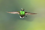 Male booted racket-tail, Ocreatus underwoodii. Tandayapa Valley, Ecuador