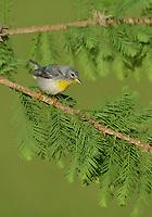 Northern Parula (Parula americana), adult female, South Padre Island, Texas, USA