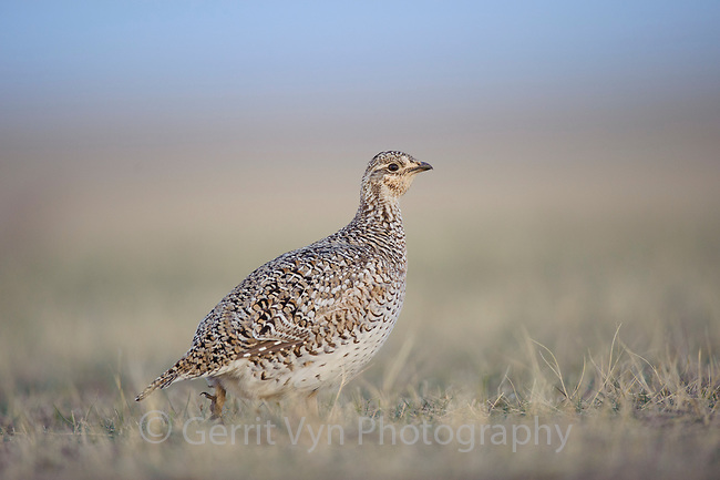 A female Sharp-tailed Grouse (Tympanuchus phasianellus) on a lek. Ft. Pierre National Grassland, South Dakota. April.