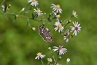 Common Checkered-Skipper (Pyrgus communis) , Hill Country, Texas, USA