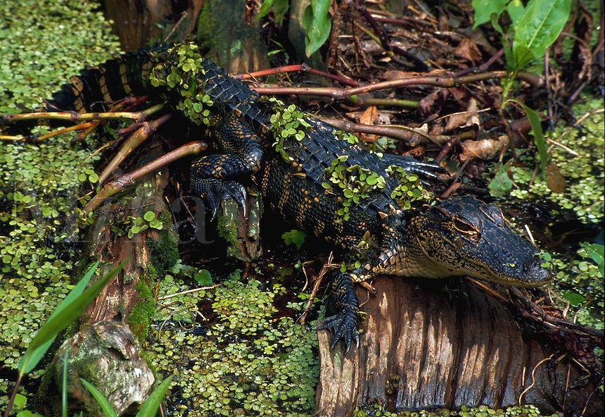 American alligator (Alligator mississippiensis) with duckweed clinging to his back. Corkscrew Swamp Sanctuary, Florida