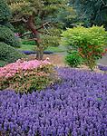 Seattle, WA  Kubota Garden city park, flowering azalea and ajuga in the Tom Kubota Stroll Garden