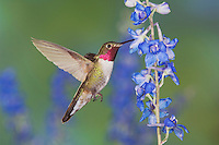 Broad-tailed Hummingbird, Selasphorus platycercus,male in flight feeding on Larkspur flower(Delphinium sp.),Rocky Mountain National Park, Colorado, USA
