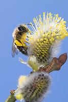 Weidensandbiene, Weiden-Sandbiene, Sandbiene, Blütenbesuch an Salweide, Sal-Weide, Salix caprea, Andrena spec., Sallow Mining-Bee, Sallow Mining Bee, mining bee, burrowing bee, Sandbienen, mining bees, burrowing bees