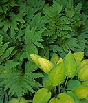 Vashon-Maury Island, WA: A detail of hosta 'Gold Standard' with oak leaf fern