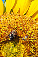 Bees on sunflower.