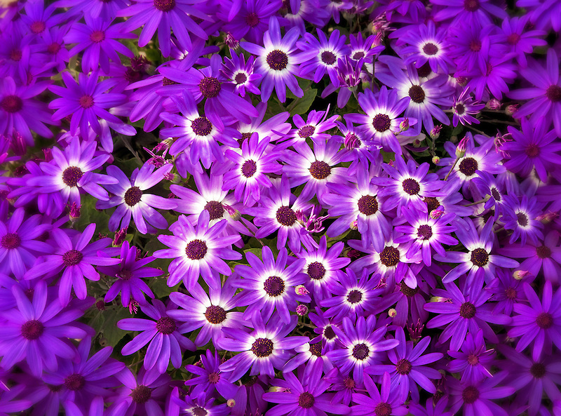 Senetti Deep Blue flowers.
