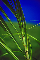 Close up of sugar cane on island of oahu