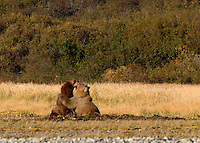 Grizzly Bears play fighting in Katmai, Alaska.