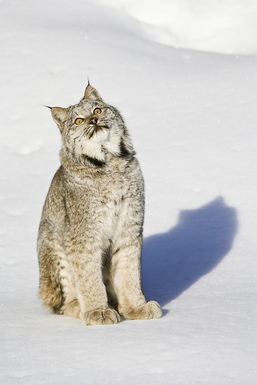 Canada Lynx watching the sky while sitting on the snow- CA