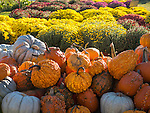 Scotts' Farm and Greenhouses, Essex, CT. Pumpkins, gourds, and Chrysanthemums.