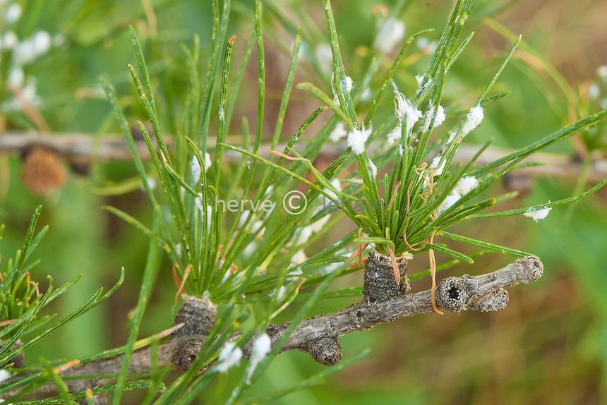 En montant vers le pic de Gleize (depuis le col de Gleize) : .pucerons lanigaires (Adelges laricis) sur mélèze d'Europe // France, Alpes, Climbing to the peak Gleize: aphids (Adelges laricis) on European larch