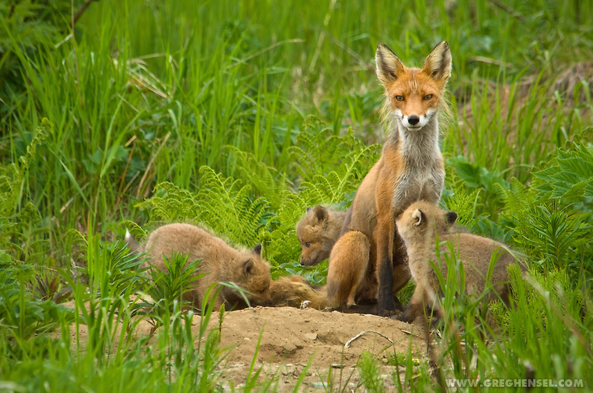 A Red Fox keeps a watchful eye out for her kits as they play near their den at McNeil River Brown Bear Sanctuary. Summer in Southwest Alaska.