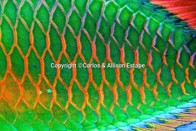 Sparisoma viride, Stoplight parrotfish, Florida Keys