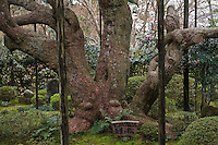 The gnarled and sprawling trunk of an ancient Japanese white pine (Pinus parviflora) at the Hosen-in Temple, near Kyoto