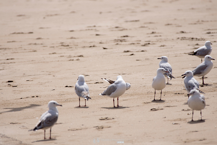 Seagulls by the sea in Batemans Bay, Australia.