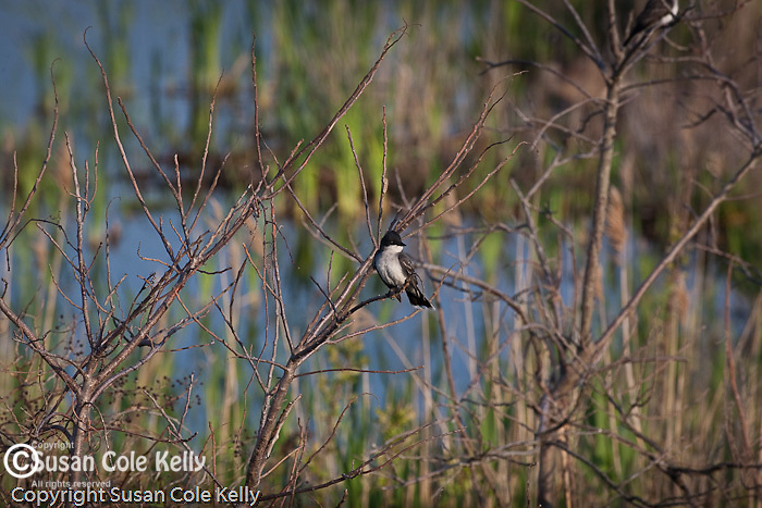 Eastern Kingbird in Cape May State Park, Cape May, NJ, USA