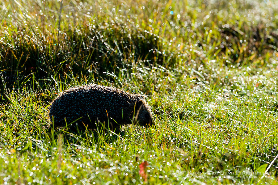 Norway, Klepp. Hedgehog.