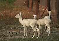 Small group of beautiful gracious shy white deers in Sakkarbaug Zoological Garden Junagadh