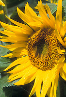 Sunflowers Henry Wilde. Helianthus annuus, macro, showing seedhead and yellow petals, cheerful sunny summer day