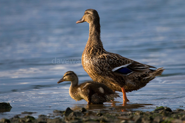 Mallard female duck and Duckling, Anas platyrhynchos,  River Slaney, Wexford, Ireland