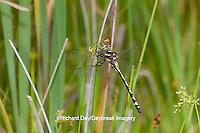 06496-00211 Arrowhead Spiketail dragonfly (Cordulegaster obliqua) female in fen, Reynolds Co., MO