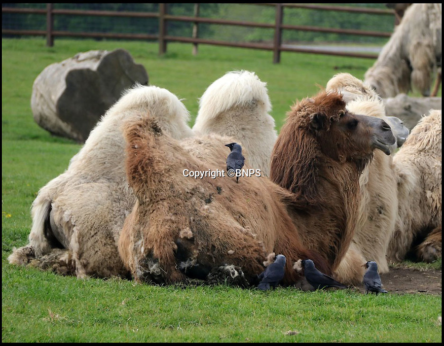 BNPS.co.uk (01202 558833)<br /> Pic: IanTurner/BNPS<br /> <br /> Cheeky jackdaws are helping themselves to a warm camel hair nest at Longleat this spring.<br /> <br /> The annual moult of the Wiltshire safari parks Bactrian camels (Camelus bactrianus) provides the perfect opportunity for the enterprising corvids to feather their own nests.<br /> <br /> The camels come from one of the harshest enviroments on earth, with freezing winters and blistering summers, so their incredibly thick winter coat is shed every spring.<br /> <br /> The cunning jackdaws are happy to help speed up the process and the camels don't seem to mind.