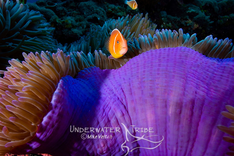 Pink anemonefish, Amphiprion perideraion, in a magnificent anemone, Heteractis magnifica, Yap, Federated States of Micronesia, Pacific Ocean