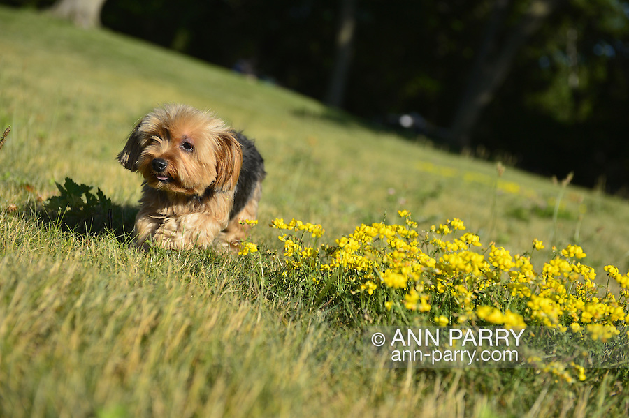 Sands Point, New York, U.S. - July 5, 2014 - Juliette, a teacup Yorkie from Queens, came with her family during Independence Day weekend, to visit Sands Point Preserve on the Gold Coast along Long Island Sound, when sunny warm weather arrived after a July 4th with many events canceled due to rain.