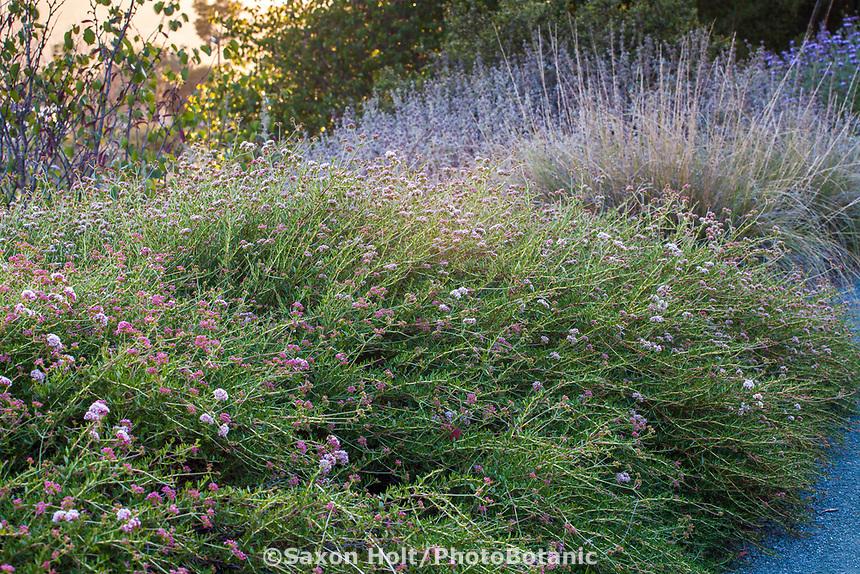 Eriogonum fasciculatum 'Theodore Payne' (California Buckwheat) at Leaning Pine Arboretum garden