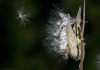 When seedpods ripen on milkweed (Asclepias sp.) plants, they break open allowing winds to disperse the seeds which are attached to fluffy white floss.
