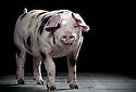 20/10/16 - YOLET - CANTAL - FRANCE - Elevage de porcs de croisement large white et pietrain de Jean Paul GAMEL - Photo Jerome CHABANNE