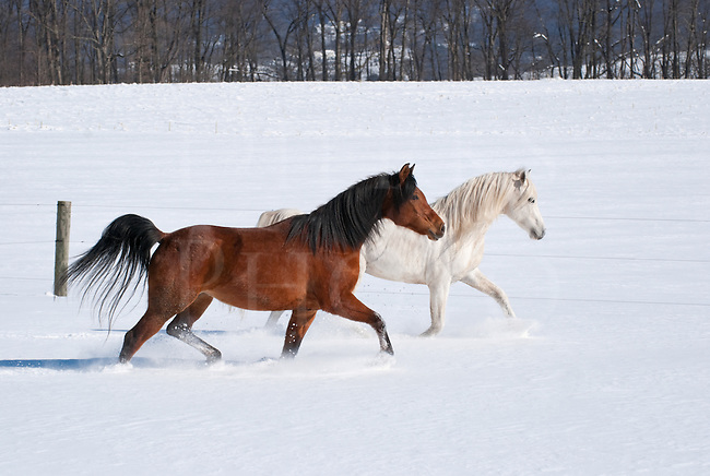 Picture of two Arabian horses walking across a field in new fallen snow.