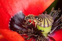 Furchenbiene, Schmalbiene, Weibchen beim Blütenbesuch auf Mohn, mit Pollen beladen zwischen Stempel und Staubblättern, Furchen-Biene, Schmal-Biene, Lasioglossum calceatum, syn. Halictus calceatus, Slender mining bee, Slender mining-bee, Miner Bee, Miner-Bee, sweat bee, European halictid bee, Furchenbienen, Schmalbienen, Miner Bees, mining bees
