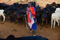 TANZANIA, Korogwe, Massai with Zebu cow in Kwalukonge , shepherd catch cows with rope for animal vaccination to prevent animal disease / TANSANIA, Korogwe, Massai mit Zebu Rindern in Kwalukonge, Hirte faengtt Kuehe mit lasso fuer Tierschutzimpfung zur Vermeidung von Seuchen ein