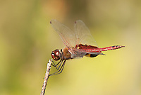 388550017 a wild male red saddlebags dragonfly tramea onusta perches on a small stick at santa ana national wildlife refuge rio grande valley texas united states