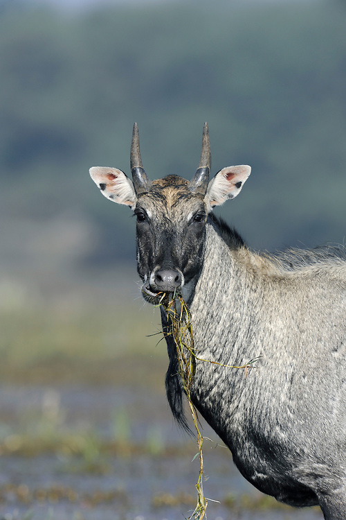 Nilgai Boselaphus tragocamelus Shoulder height to 1.5m Massive, relatively long-legged animal, and Asia's largest antelope. Male is known as 'Blue Bull' and has bluish-grey coat with white throat patch and shortish horns. Female is brownish with white throat but no horns.