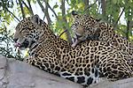jaguar grooming at the Living Desert