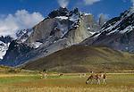 Guanaco, Cuernos del Paine, Patagonia, Chile