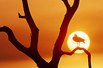 An Egyptian goose is silhouetted by the setting sun in Botsawana's Okavango delta.