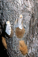 INSECTS<br /> Female Gypsy Moths With Eggs
