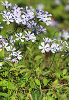 A small cluster of delicate tiny Blue Phlox wildflowers blooming in the great smoky mountain national park - A Free Stock Photo.