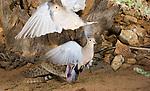 Western Diamond-backed Rattlesnake (Crotalus atrox) strikes at but misses two Mourning Doves (Zenaida macroura), Sonoran Desert, Arizona, USA