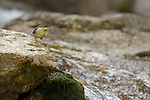 White-throated Dipper (Cinclus cinclus) young, Alps, Italy
