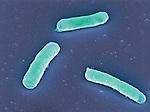 E. coli Bacteria. SEM X15,000