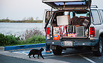 Susan Smith of Rivertown Cats and H.A.R.P. volunteer (Homeless Animal Response Program), of Antioch, is greeted by one of the cats along the river in Antioch, California, on Friday, March 21, 2014.  Photo/Victoria Sheridan